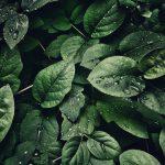 Een Helleborus voor in jouw tuin